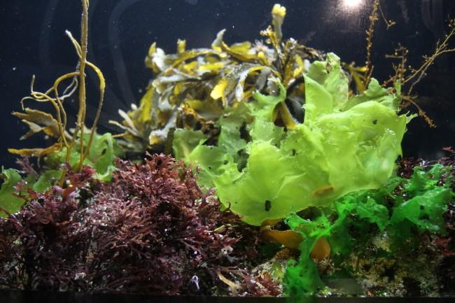 bretagne algen wenn gr nalgen verfaulen. Black Bedroom Furniture Sets. Home Design Ideas