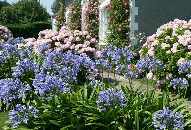 Bretagne Insel Île de Bréhat: Blumenpracht.